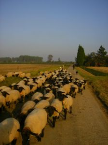 Sălaj: Prima echipă de specialiști în tunsul oilor din Transilvania