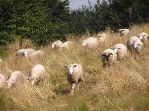 Interzicerea exportului de ovine către Turcia a adus un prejudiciu de 100 de milioane de euro oierilor români