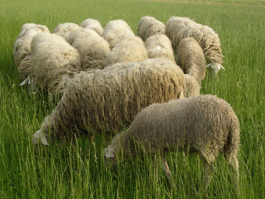 Constanta: Percheziții la persoane bănuite că furau oi de la stâne