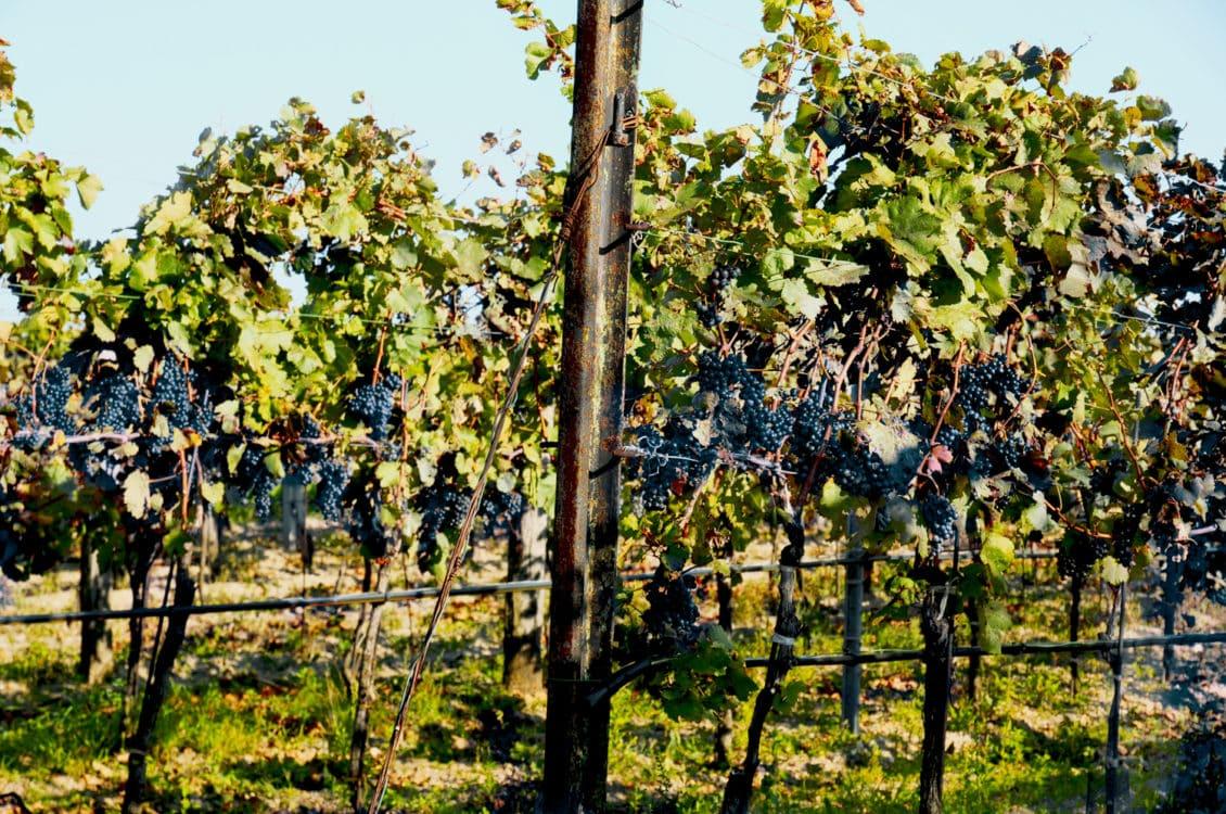 Producția mondială de vin crește în 2013, în pofida diminuării numărului de podgorii