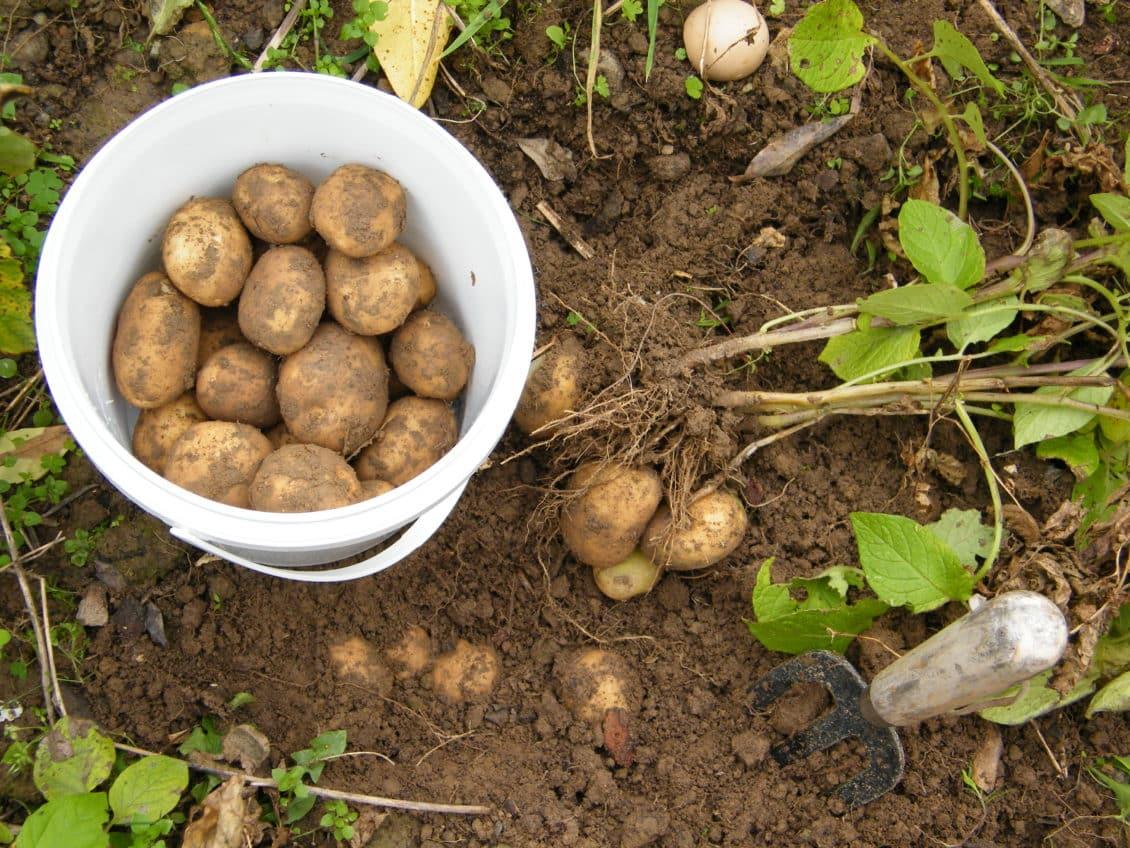 Brașov: Cercetătorii vor să producă seminţe de cartof dulce şi de cartof violet