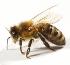 Soluţii pentru salvarea albinelor