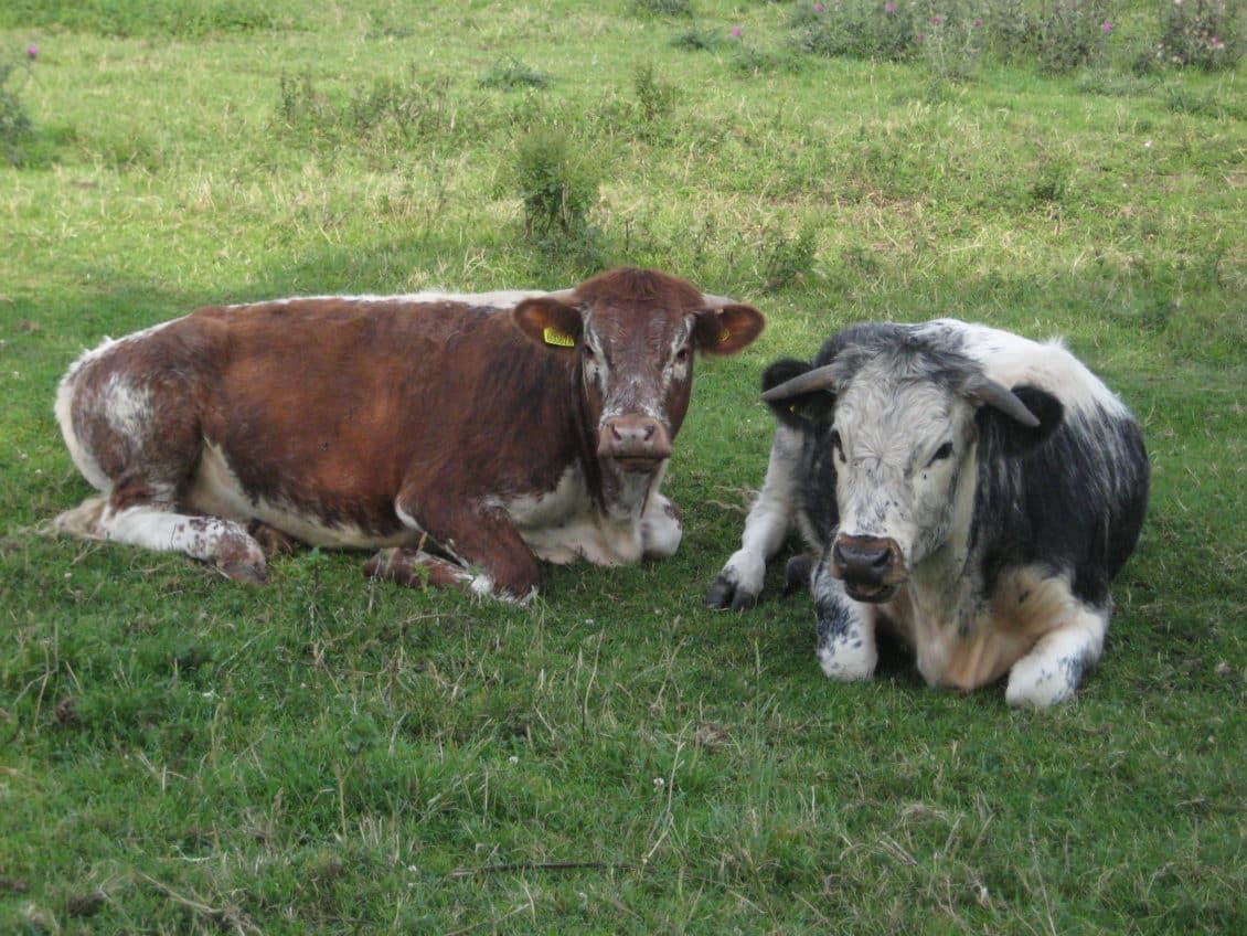 Suceava: Crescătorii de bovine se revoltă. Motivul: Preţul laptelui a  ajuns la 70 de bani/litru