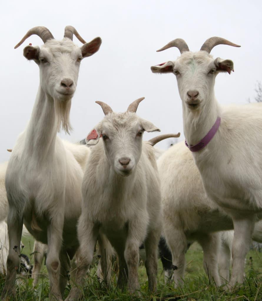 Sălaj: Zeci de capre, aduse în fața primăriei Românași, în semn de protest
