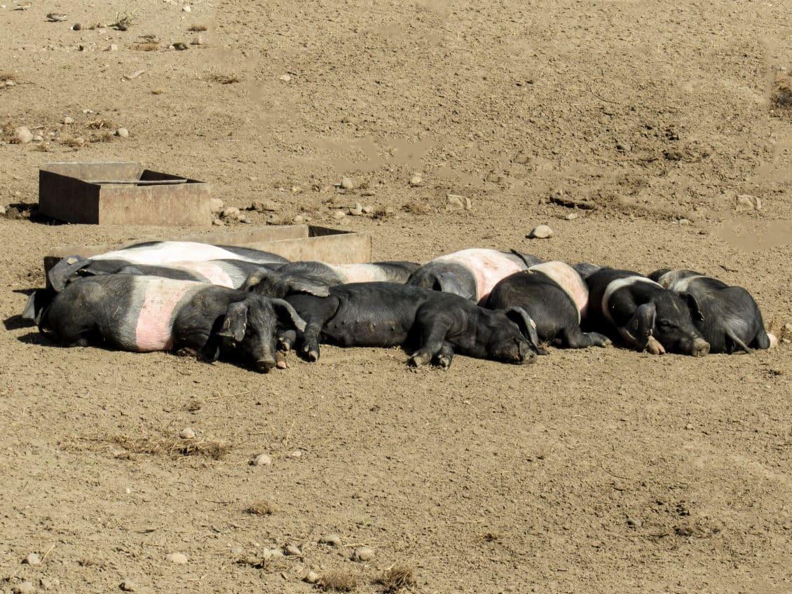 APIA eliberează adeverinţe pentru bunăstarea animalelor- pachet a- porcine