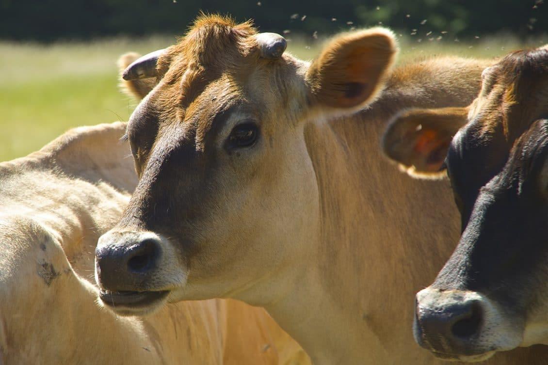 Brașov: Nemulțumirile tinerilor fermieri care investesc bani europeni în zootehnie