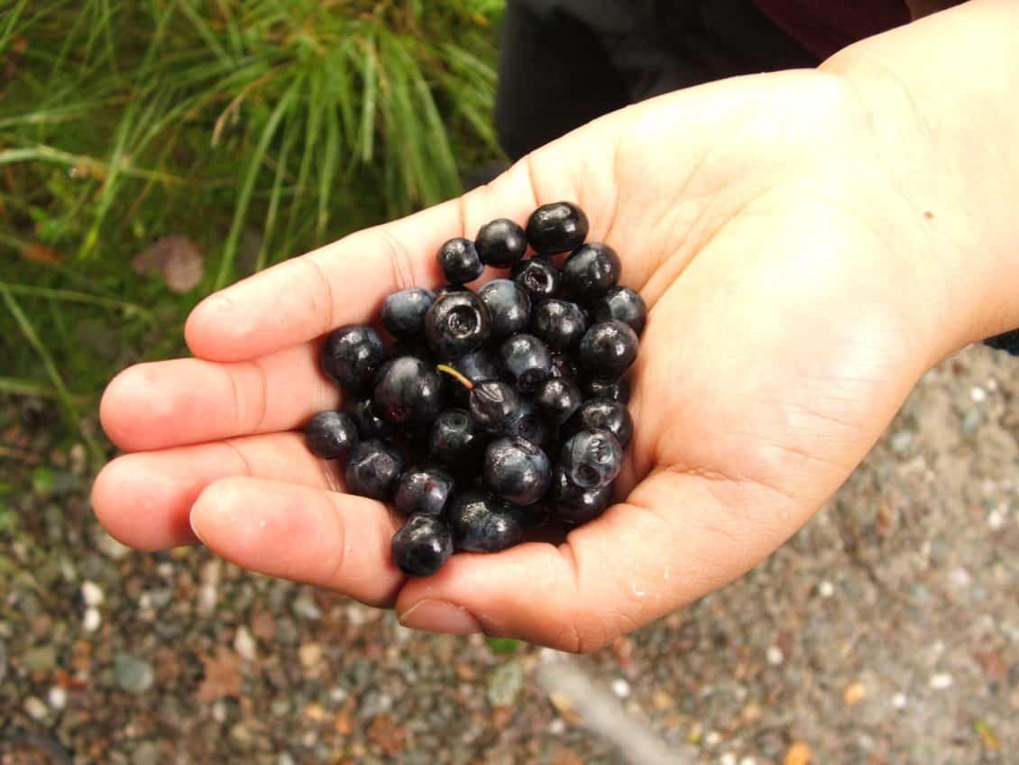 Plantațiile de afin, afacerea cu un potențial uriaș