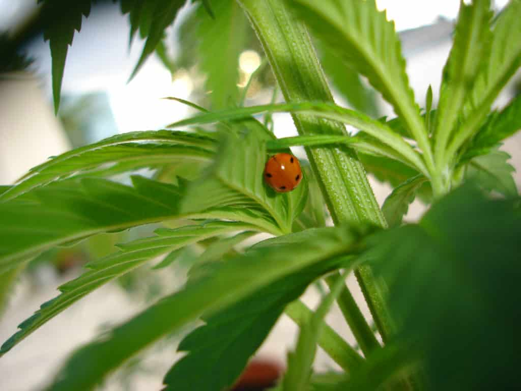 Românii pot cultiva cânepă în gospodării, pe suprafețe de până la 1.500 mp