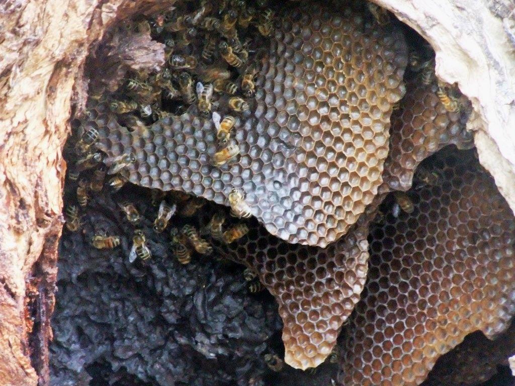 Studiu: Aproape 10 % din speciile de albine sălbatice din UE sunt în pericol de dispariție
