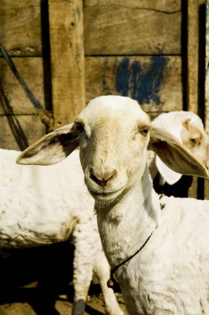 Un fermier brașovean a primit cea mai mare subvenție acordată crescătorilor de oi