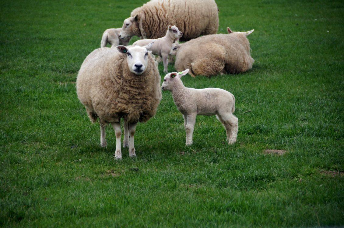 Subvenții suplimentare pentru crescătorii de bovine, ovine și caprine