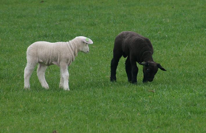 Constantin: Subvențiile pentru ovine se plătesc din 26 martie