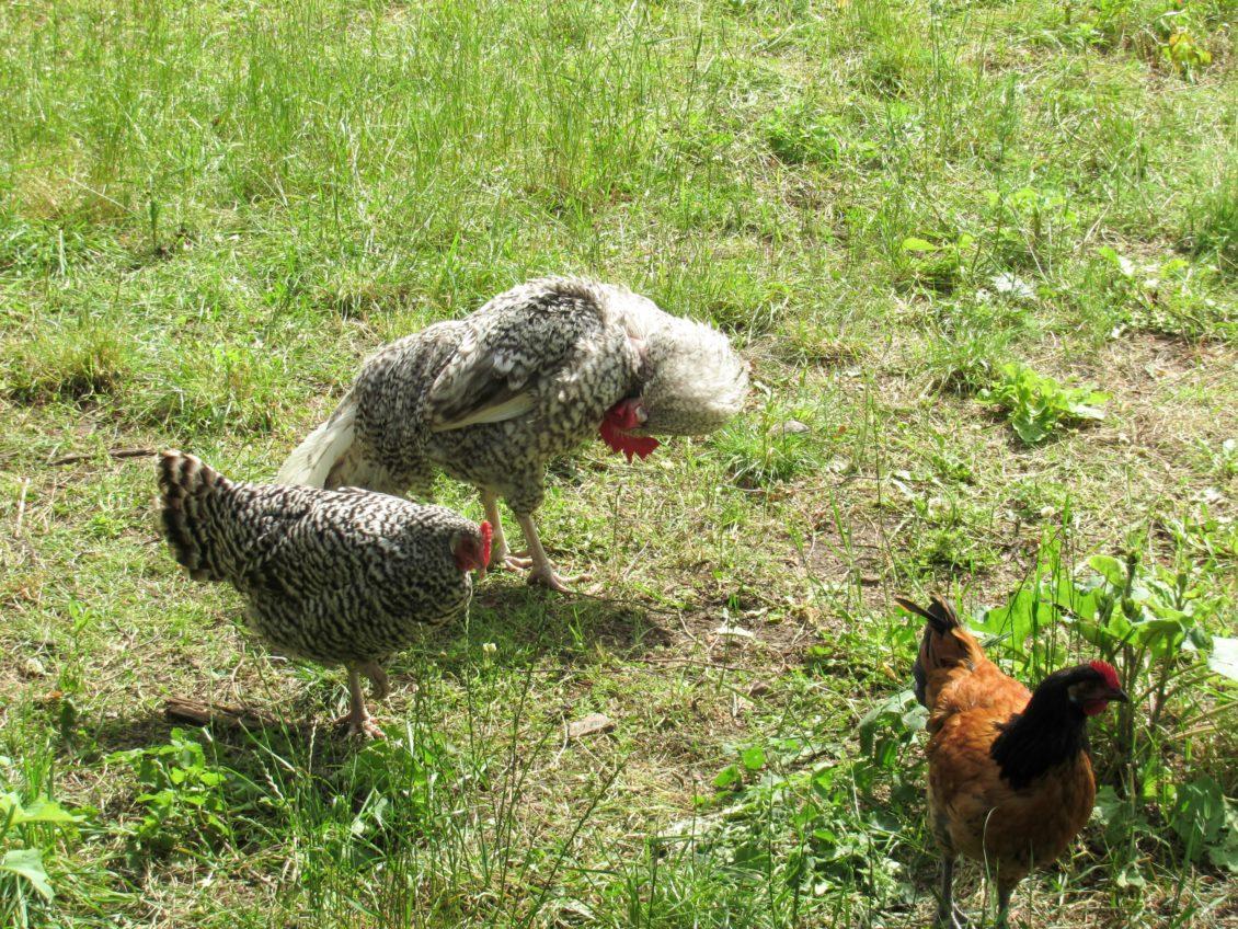 APIA: Se eliberează adeverințele pentru beneficiarii Măsurii 215- bunăstarea animalelor (păsări)