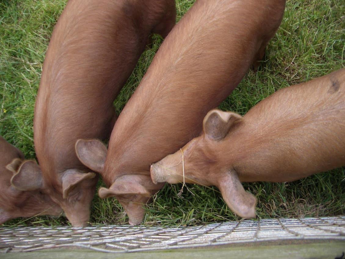 Înființarea unei ferme de porci: Care sunt cele mai profitabile rase pentru un mic fermier