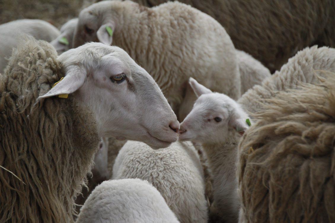 Agalaxia contagioasă și mamita gangrenoasă a oilor și caprelor