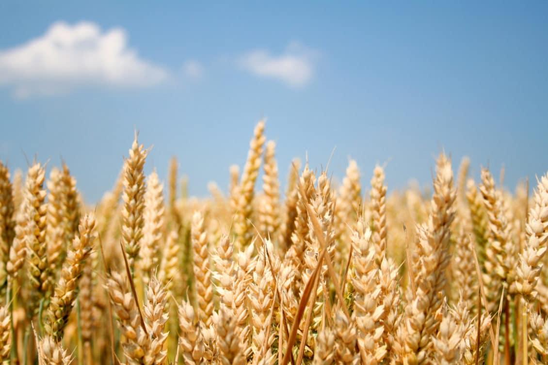 Exportatorii de grâu din Occident nu pot concura cu statele baltice și regiunea Mării Negre