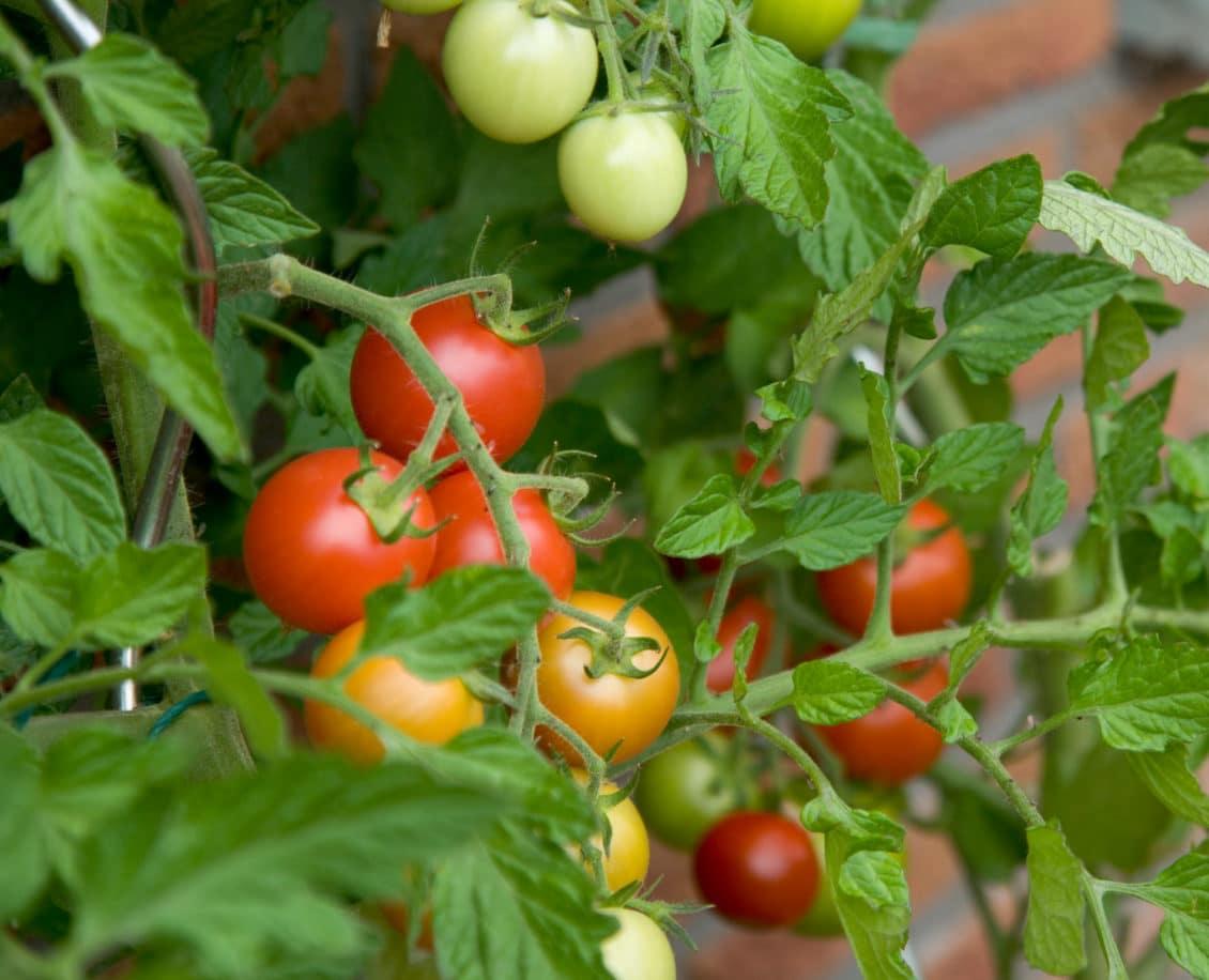 Ajutor de minimis pentru tomatele cultivate în spaţii protejate