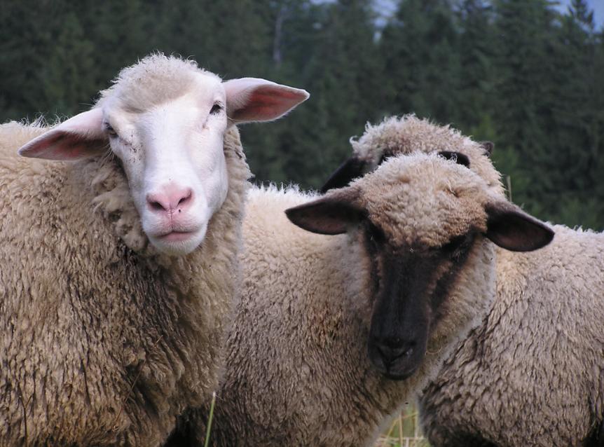 Numărul ovinelor si caprinelor sacrificate a crescut de aproape 6 ori