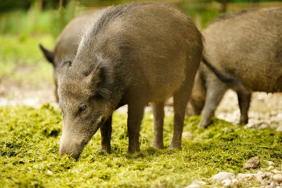 Dimitrie Muscă  (fermier): Treziți-vă, oameni buni. Pesta porcină africă nu are tratamente și remedii și e lângă România
