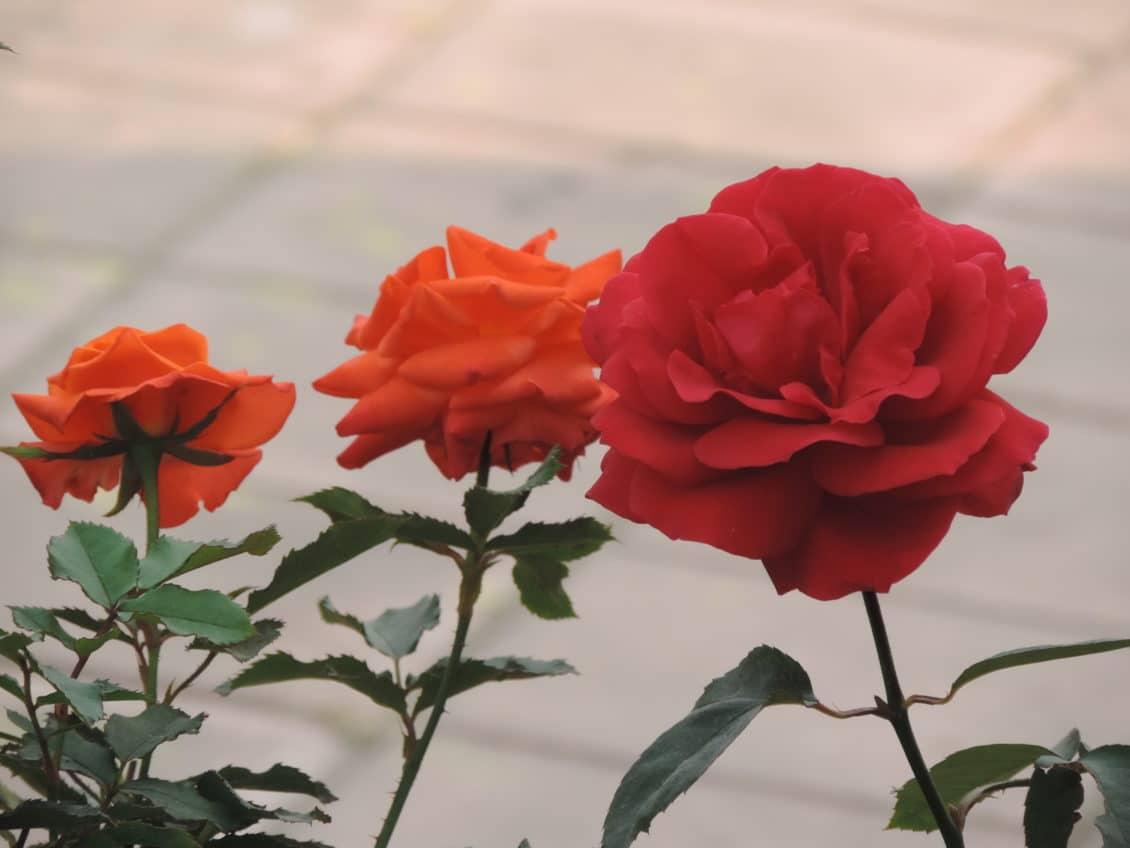Dulceața, siropul și apa de trandafir, viitoare posibile branduri ale Timișoarei