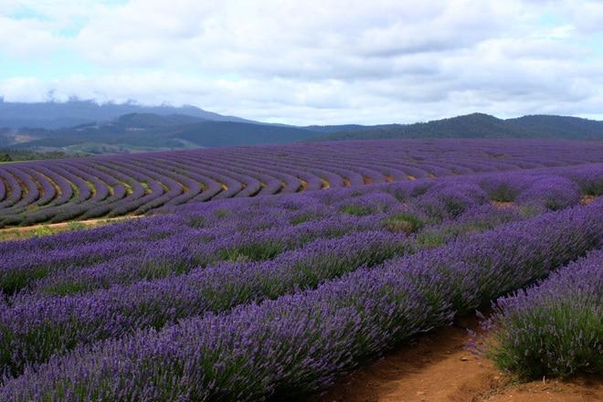 Alba: Peste 20 de membri în Asociaţia Cultivatorilor de Lavandă