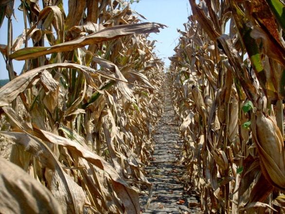 Agrometeo: Suprafețe întinse cultivate cu porumb se confruntă cu seceta pedologică, în diferite grade de intensitate