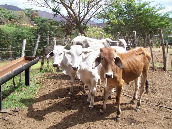 ANSVSA: Evoluția focarelor de dermatoză nodulară a bovinelor în Bulgaria