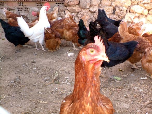 Cum să protejezi păsările domestice de boli