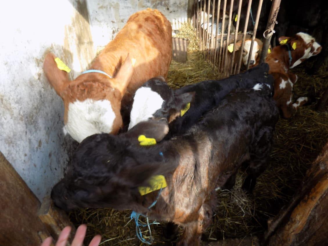 Zoltan Haller (ABR): Nu este surplus de lapte, acum, în România. Dimpotrivă
