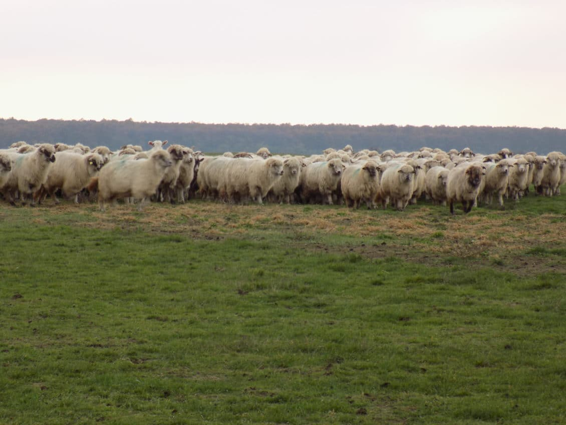 Agrostar: Ciobanii reiau protestele dacă Legea vânătorii nu va fi modificată până la sfârșitul lunii ianuarie 2016