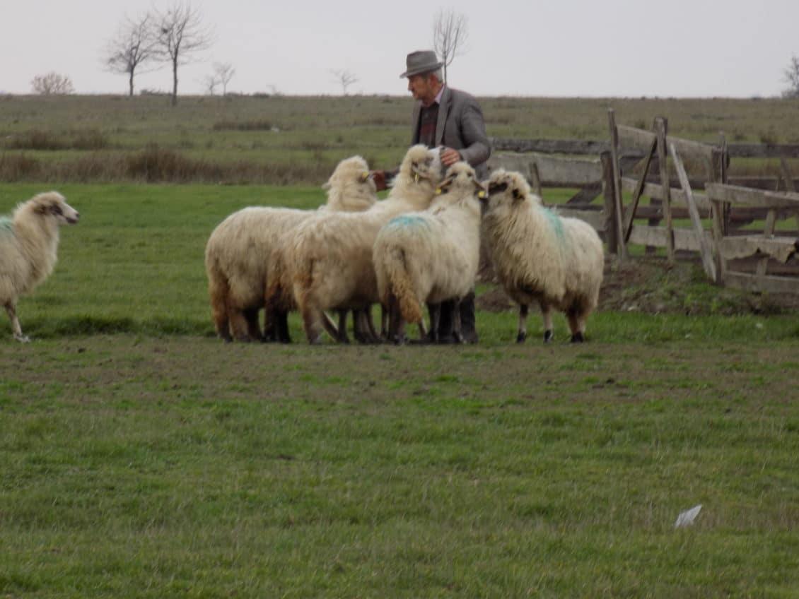 Creşterea oilor: Înregistrarea crescătorilor de ovine pentru valorificarea producţiei
