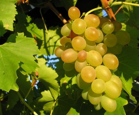 Viticultura românească: Majarcă albă