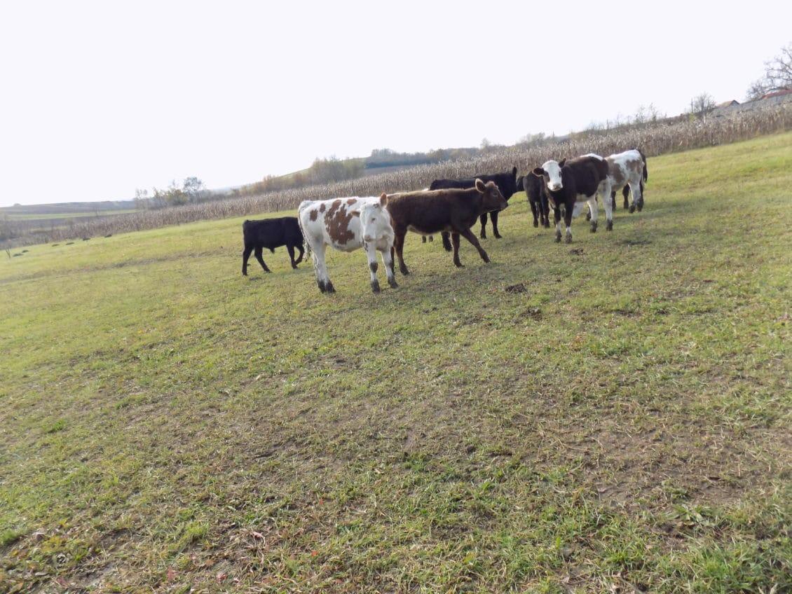 Condiții pentru primirea Ajutorului Tranzitoriu, în noile exploatațiile de bovine
