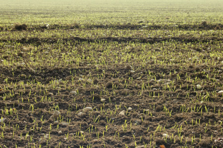 Sprouting Winter Wheat in shingly Bavarian Soil
