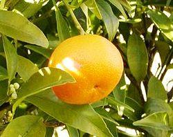 LEACURI DIN GRĂDINĂ: Mandarinele