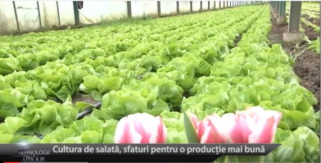 Salata: Tehnologii și recomandări de cultivare