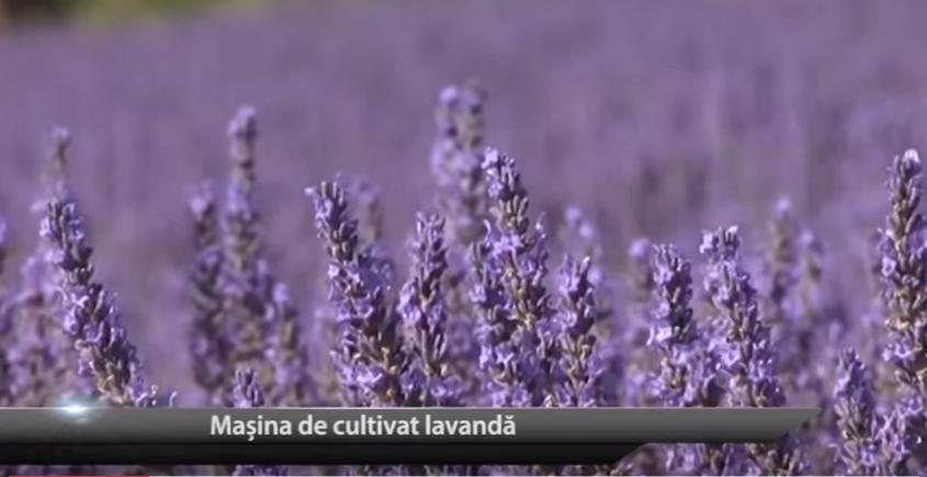 """TEHNOLOGII ȘI UTILAJE: """"Mașina"""" de cultivat lavanda"""