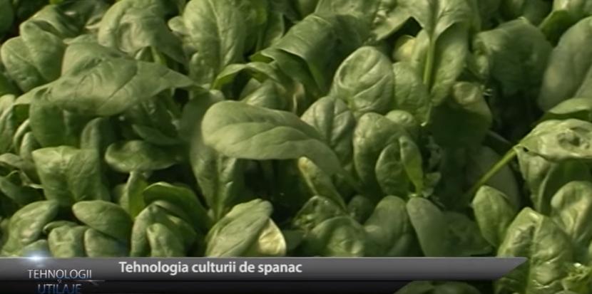 Tehnologii și utilaje: Cum și când se cultivă spanacul