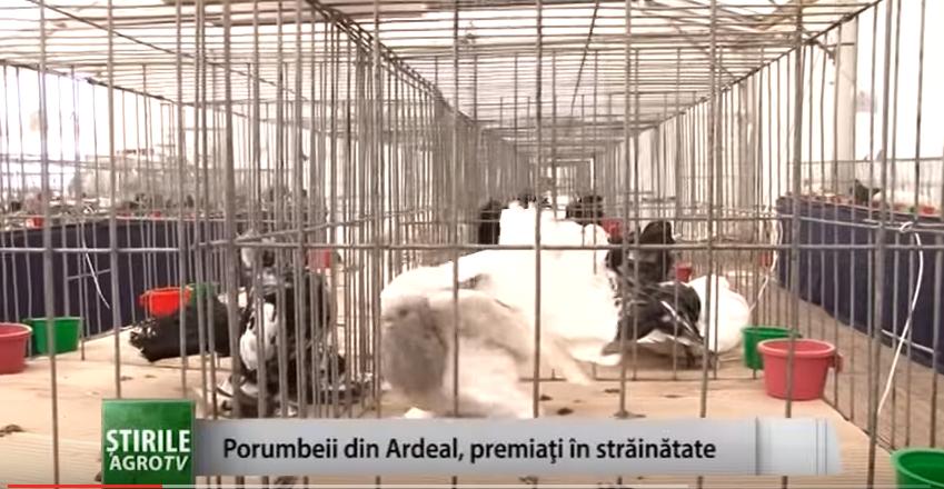 Ştiri: Porumbeii din Ardeal, premiaţi în străinătate