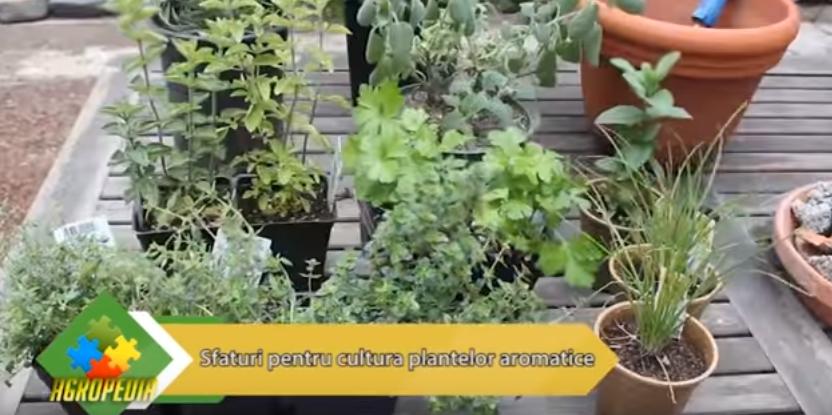 Sfaturi pentru cultivarea plantelor aromatice