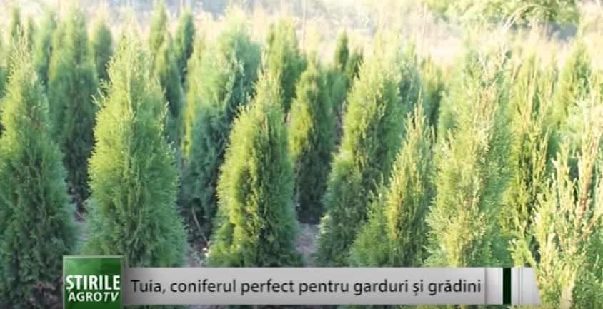 Tuia, coniferul perfect pentru garduri şi grădini