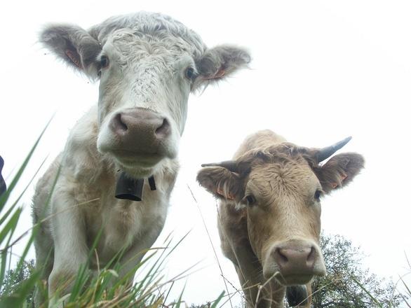 EXCLUSIV: Subvenţiile pentru bovine: Situaţia la zi. Ce se va intampla cu angajatii APIA, dacă nu se fac plăţile
