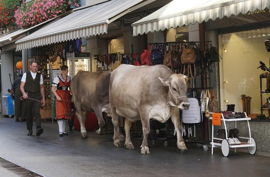 """Septembrie, singura lună în care îți poți """"înmatricula"""" vaca"""