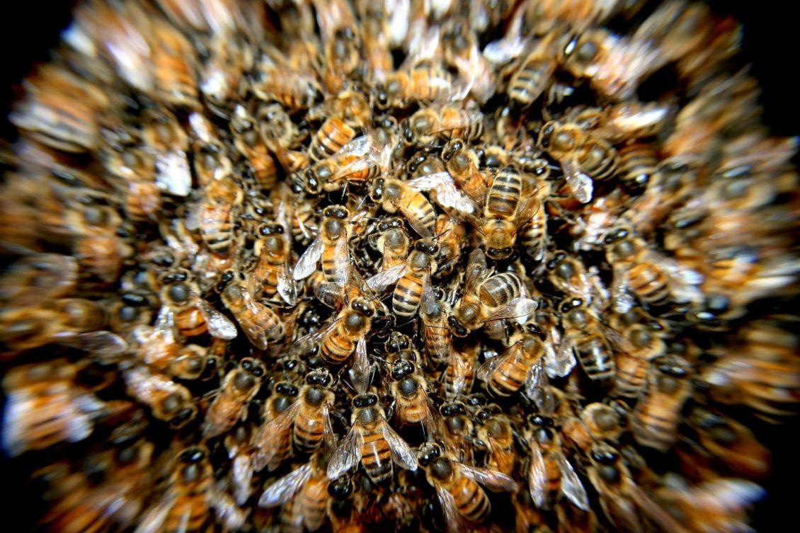 Studiu: Albinele şi alte insecte, responsabile pentru cele mai multe morţi survenite în urma înţepăturilor, în Australia