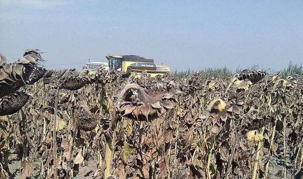 Producție mare de floarea soarelui pentru un fermier din sudul României