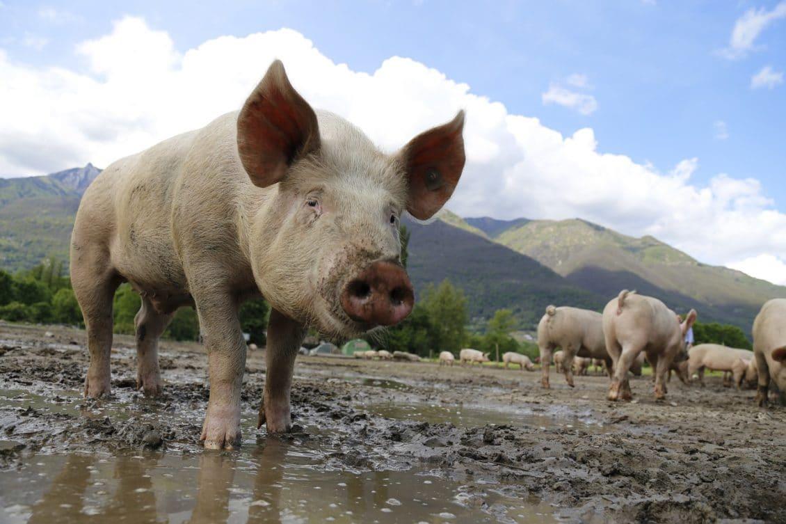 E bine că putem exporta porci, dar nu prea ne convine