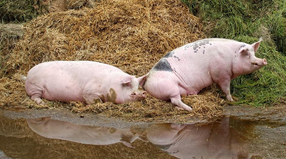 IMPORTANT: Măsuri de prevenire a Pestei Porcine Africane. Află care sunt simptomele bolii!