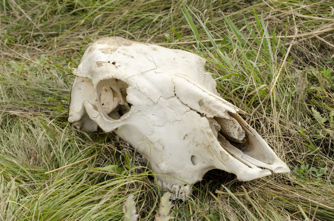 O haită de lupi şi un urs au mâncat aproape 30 de vaci și oi, din Alba