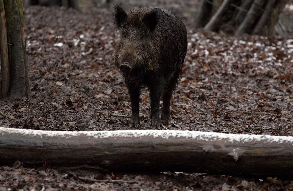 """Mistreții """"ruşilor"""" au pestă porcină africană. Ai noștri, doar trichineloză"""