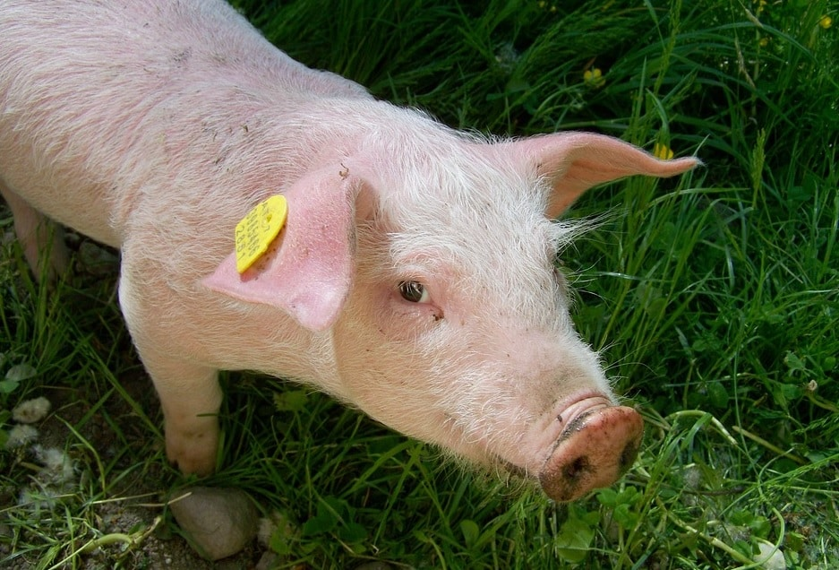 Recomandări privind sacrificarea porcilor și consumul cărnii de porc